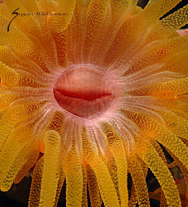 Happy Anemone Mine by Suzan Meldonian 